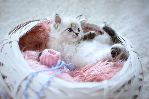 Sibirische Kitten
