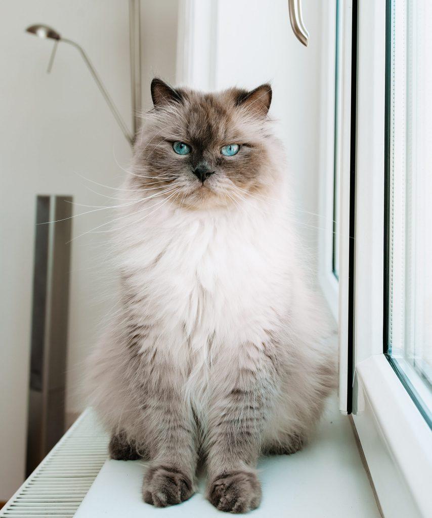 Sibirische_gesunde_Katze